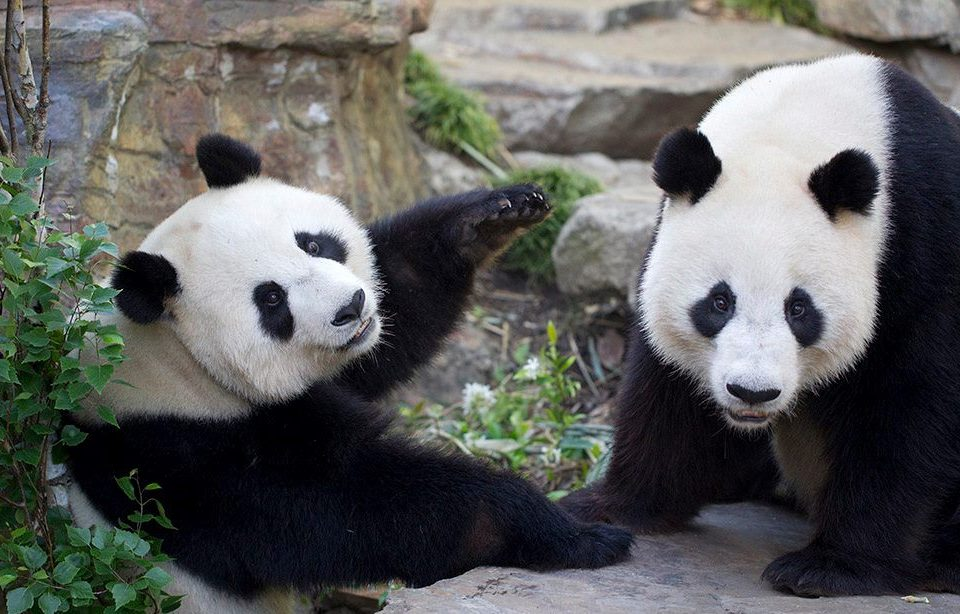 Wang-Wang-and-Fu-Ni-Giant-Pandas-at-Adelaide-Zoo-Photo-credit-Zoos-SA-960x614jpg